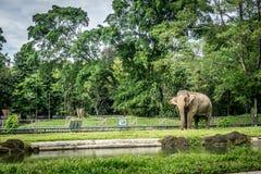 En stor elefant i buren med pölen som omger vid staketet och trädfotoet som tas i den Ragunan zoo Jakarta Indonesien Royaltyfri Fotografi