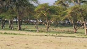 En stor flock av antilop Graze On en grön gräsmatta i den afrikanska savannahen stock video