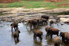 En stor flock av bruna elefanter badar i floden royaltyfri fotografi