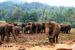 En stor flock av bruna elefanter mot bakgrunden av djungeln Royaltyfri Foto