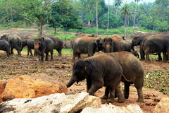 En stor flock av bruna elefanter mot bakgrunden av djungeln Arkivfoton