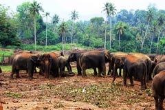 En stor flock av bruna elefanter mot bakgrunden av djungeln Arkivbild
