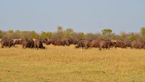 En stor flock av buffeln Fotografering för Bildbyråer