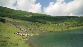 En stor flock av får betar på lutningen av de Carpathian bergen nära sjön stock video