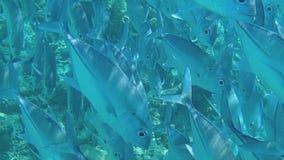 En stor flock av fiskbad mycket n?stan den undervattens- h?rliga sikten f?r kamera dykning lager videofilmer