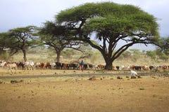 En stor flock av kor i Kenya Arkivbild