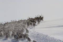 En stor flock av renar som kör längs lutningen av enliten vik Royaltyfria Bilder