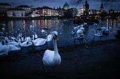 En stor flock av svanar som simmar på natten i den Vltava floden arkivfoto