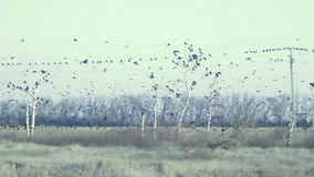 En stor flock av svarta fåglar som flyger och sitter på kraftledningarna stock video