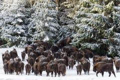 En stor flock flera dussin huvud av lös europébrunt Bison Bison Bonasus Enters The Pine Forest Along The Snow-Covered F Arkivbild