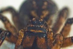 En stor ful studsa spindeltarantel sitter p? jordningen p? en vit bakgrund Ögon och huggtänder av en vuxen hårig vargspindel arkivbilder