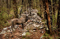 En stor fullvuxen hankronhjort för röda hjortar Royaltyfri Bild