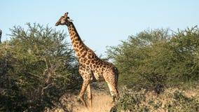 En stor giraff i busken arkivfoto