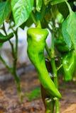 En stor grön frukt av peppar som växer på busken i ett växthus Royaltyfria Bilder