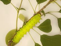 En stor grön larv av den indiska månemalen, Actiasselene, på en trädfilial Arkivfoto