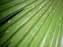 En stor grön palmbladnärbild Royaltyfri Bild