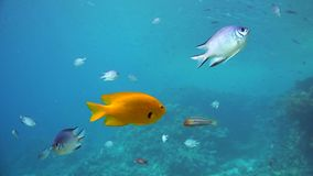 En stor grupp av fiskbadet i Röda havet stock video