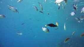 En stor grupp av fiskbadet i Röda havet arkivfilmer