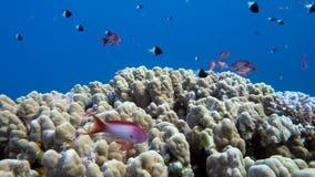 En stor grupp av fiskbadet i Röda havet lager videofilmer