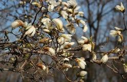 En stor härlig filial av att blomma den vita magnolian Den naturliga skönheten av vårblomman På bakgrunden av träd royaltyfria foton