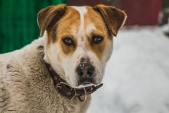 En stor härlig hund för brunt för byracka vit och med bruna ögon i en brun läderkrage bevakar gården royaltyfri bild