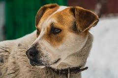 En stor härlig hund för brunt för byracka vit och med bruna ögon i en brun läderkrage bevakar gården arkivfoto