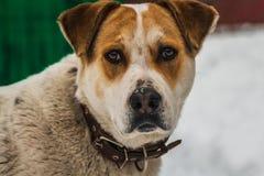 En stor härlig hund för brunt för byracka vit och med bruna ögon i en brun läderkrage bevakar gården royaltyfri fotografi