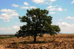 En stor härlig oaktree på ett fält Arkivbilder