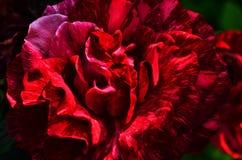 En stor härlig röd rosmakro Royaltyfri Foto