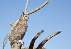 En stor Horned Owl mot en blåttSky Arkivfoton