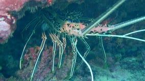 En stor hummer som döljer i en lä av, vaggar nära den Ishigaki ön, Okinawa 10 meter under vatten lager videofilmer