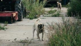 En stor ilsken hund skäller utomhus Den aggressiva hunden skyddar egenskapen och skällen i gården lager videofilmer