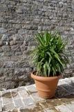 En stor inlagd växt Arkivfoton
