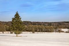 En stor julgran i mitt av ett snöig fält på en solig dag tidig fjäder royaltyfria foton