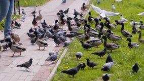 En stor klunga av ?nder, duvor och seagulls i staden parkerar n?ra dammet H?rliga stadsf?glar De ?r n?stan folket lager videofilmer