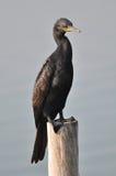 En stor kormoran på stolpen på Laemen Phak Bia Environmental Stu royaltyfri foto