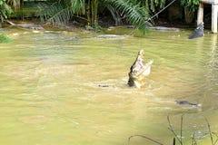 En stor krokodil efterföljande, i att låsa fast maten i denna djura lantgård under matning Tid royaltyfria foton