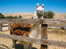 En stor lama i alpacalantgården Arkivbild