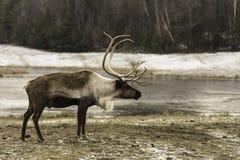En stor manlig älg i vintern Arkivbilder