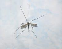 En stor mygga på bakgrundstegelplattorna Royaltyfria Bilder