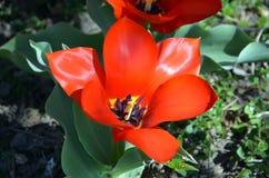 En stor och för skönhet röd blomma i naturen Arkivbilder