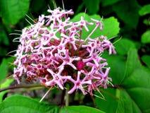 En stor och härlig rosa färg blommar med stjärna-formade kronblad Royaltyfria Foton
