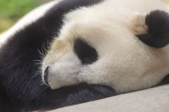 Stor Panda Royaltyfri Fotografi
