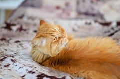 En stor röd katt ligger på soffan Han ser i stillhet över hans skuldra Lat blick, ljust långt hår Husdjur familj Royaltyfria Foton