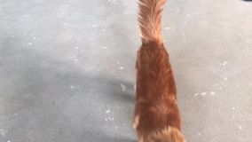 En stor röd-marmorerad Maine Coon katt ser och går in mot kameran lager videofilmer