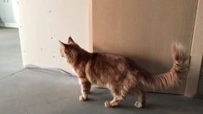 En stor röd-marmorerad Maine Coon katt ser omkring på sidorna lager videofilmer