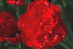 En stor röd piontulpanTulipa smyckar rabatten i trädgården Många kronblad i en blomma N?rbild royaltyfri foto