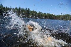 En stor rödhårig hund som dykas in i sjön, finns det en dyk och många riktningar för färgstänk sammanlagt royaltyfri foto