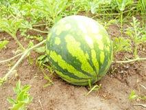 En stor randig vattenmelon arkivfoto