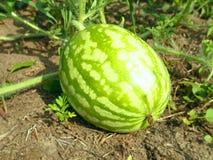 En stor randig vattenmelon arkivfoton
